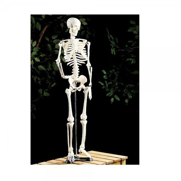 Menschliches Skelett Anatomie Lehrmodell 85 cm Naturgetreu